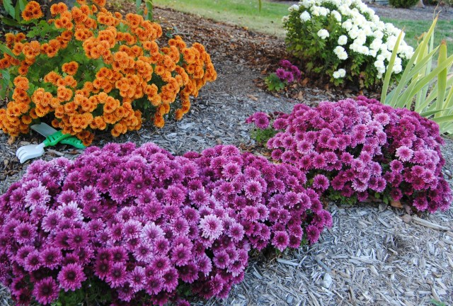 purple and orange mums