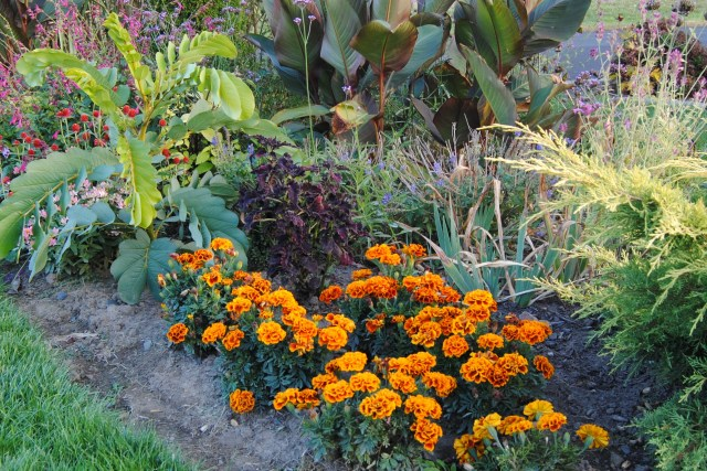 orange fall marigolds