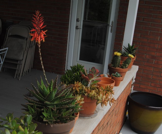 potted agave bloom