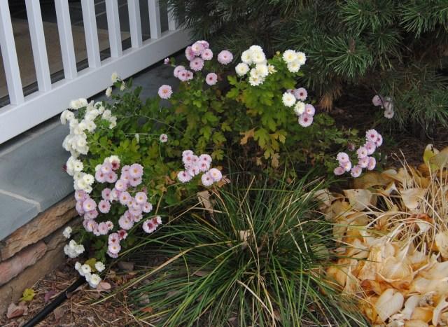 seed grown chrysanthemums