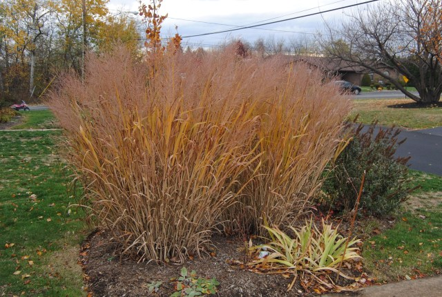 fall color on panicum 'dallas blues'