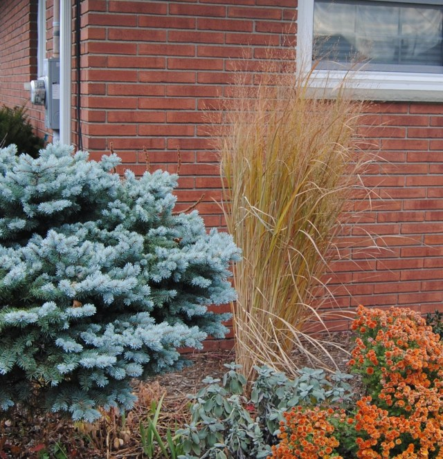 miscanthus 'northwind' with blue spruce and mums