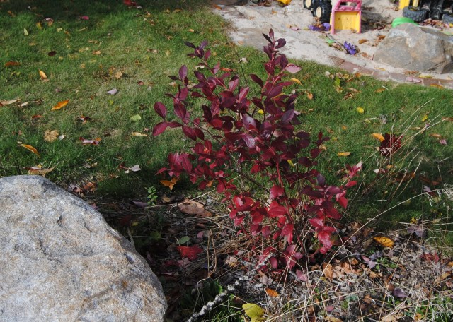 blueberry fall foliage