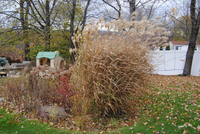 porcupine grass (miscanthus sinensis strictus) late fall