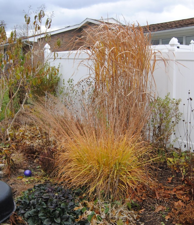 molina skyracer and miscanthus giganteus