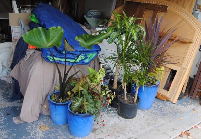 overwintering tropicals