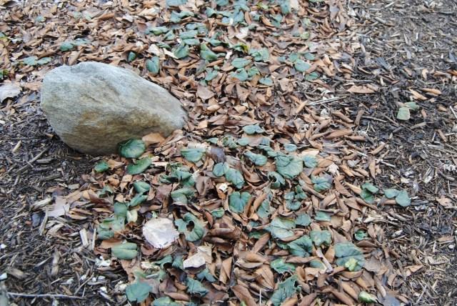 frozen cyclamen coum foliage