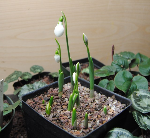 potted snowdrops