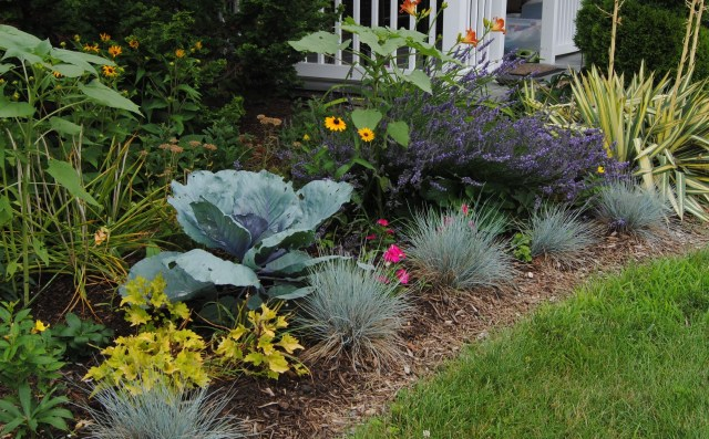 red cabbage in the border