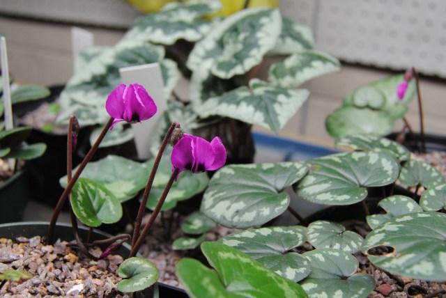 cyclamen coum blossom