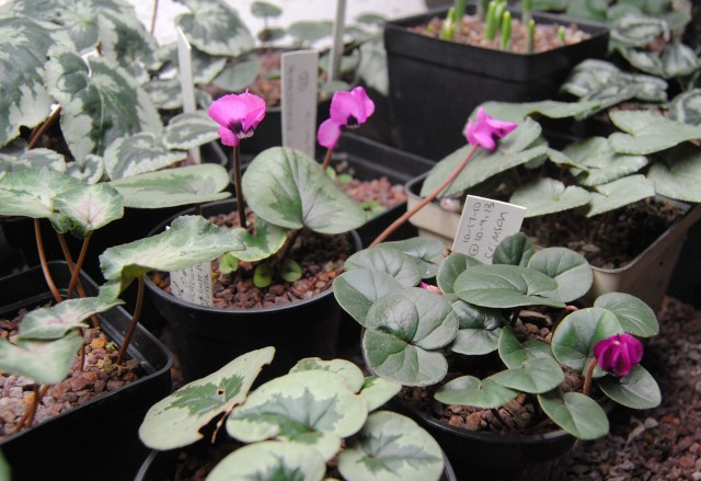 potted cyclamen coum