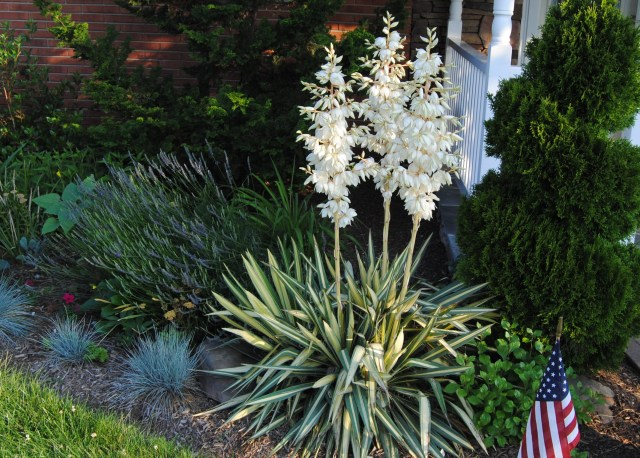 yucca colorguard with blue fescue
