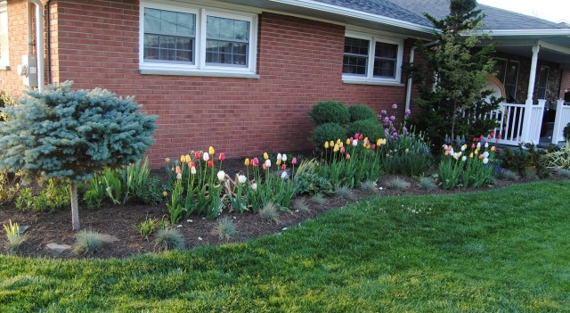 foundation planting with tulips