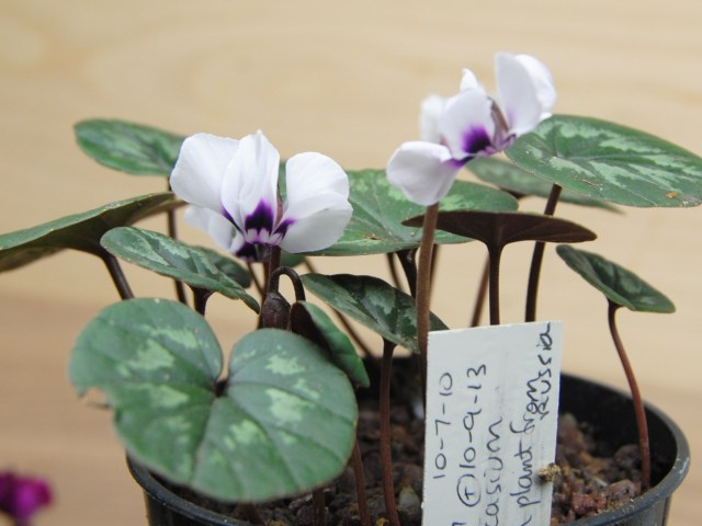 white cyclamen coum with blackberry center