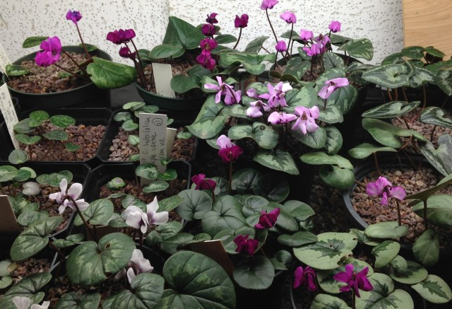 hardy cyclamen coum indoors under lights