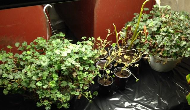 overwintered geraniums
