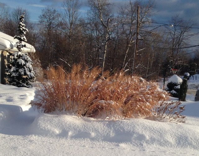 dallas blues panicum with snow