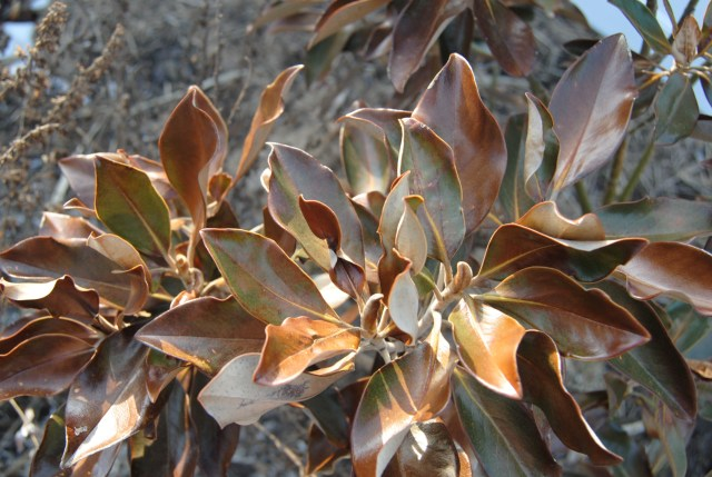 cold damaged southern magnolia