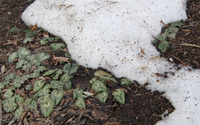cyclamen hederifolium under snow