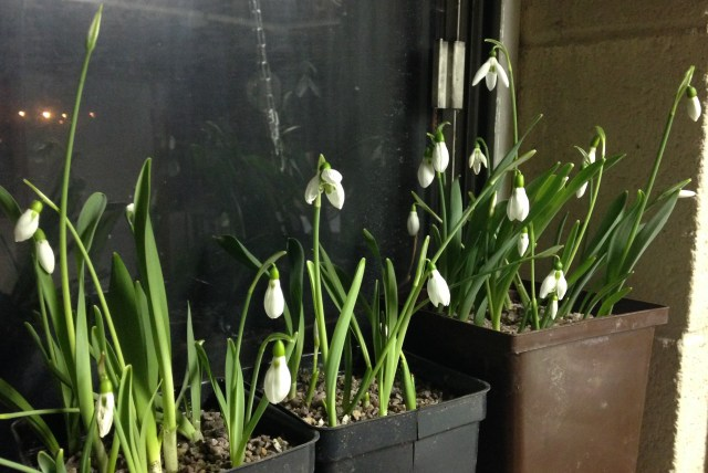 snowdrops on windowsill