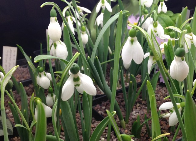 snowdrops forced indoors