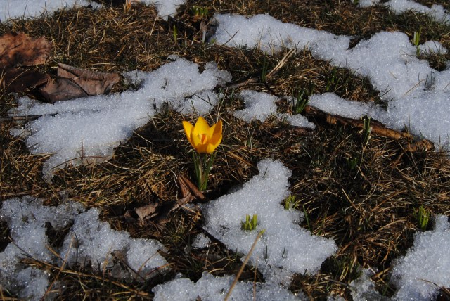 yellow snow crocus