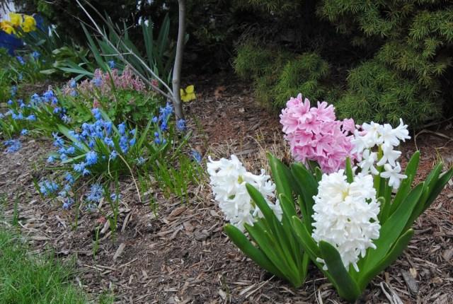 dutch hyacinths