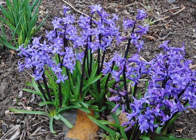hyacinth anastacia