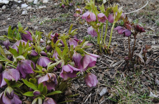 freeze damage on hellebores