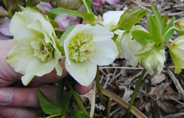 white anemone flowered hellebore