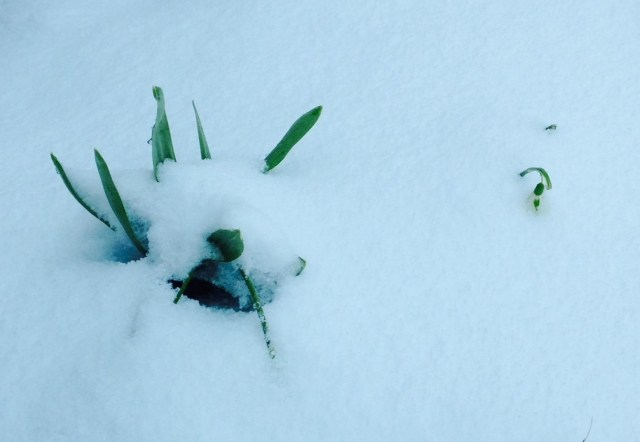 snow covered spring bulbs