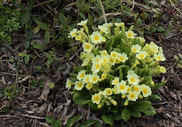yellow primrose primula vulgaris