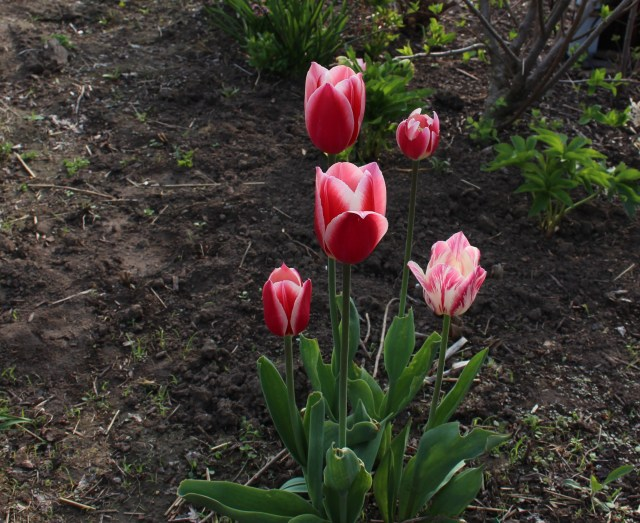 "tulip ""candy Apple Delight"""