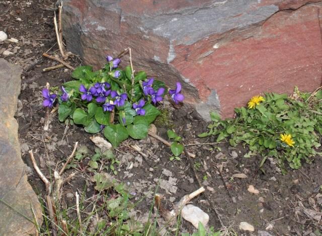 violet as a weed