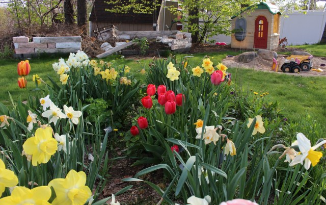mixed plantings of daffodils and tulips
