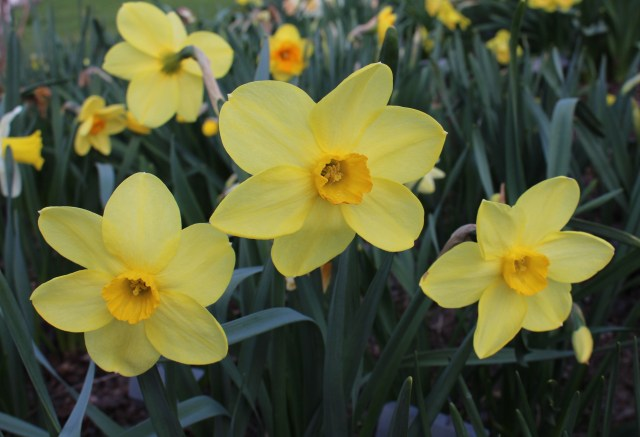 "narcissus ""new penny"""