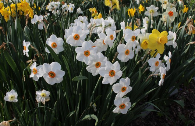 "narcissus ""bright angel"""