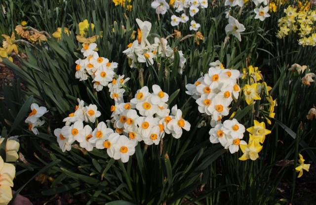 """narcissus """"geranium"""""""