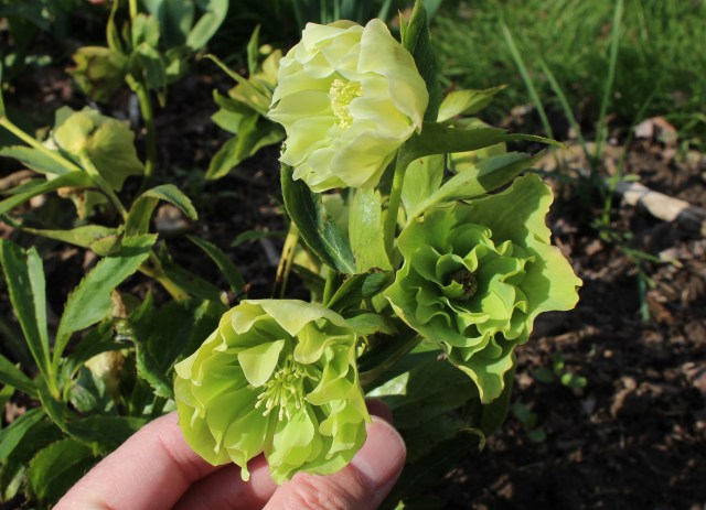 green double hellebore from elizabeth town seed