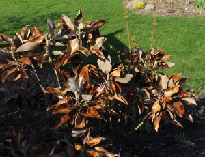 "winter buned foliage on southern magnolia ""little gem"""