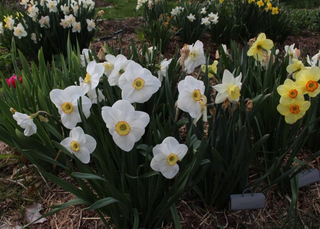 "narcissus ""Dress Circle"" and ""Molten Lava"""