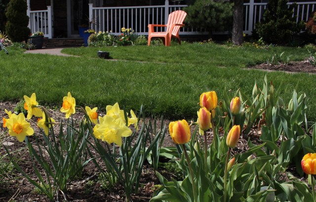 tulips and daffodils in a mixed border
