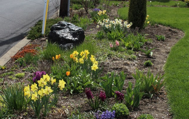 spring bulbs in a mixed border
