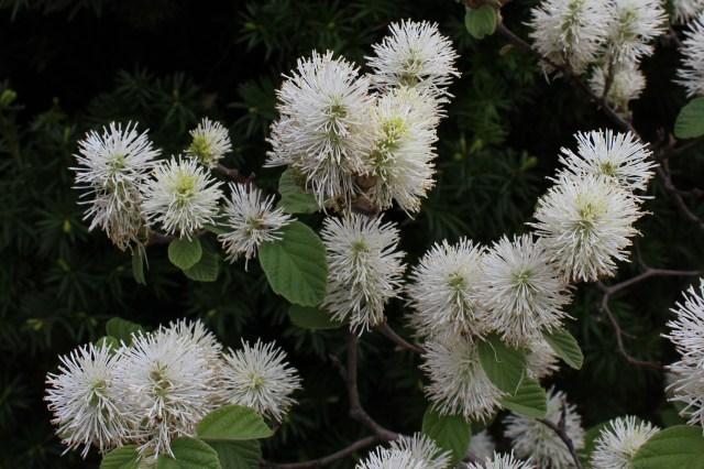 fothergilla flower