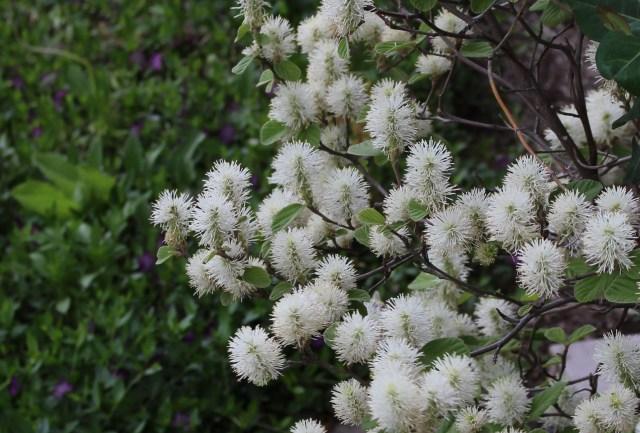 fothergilla blooms