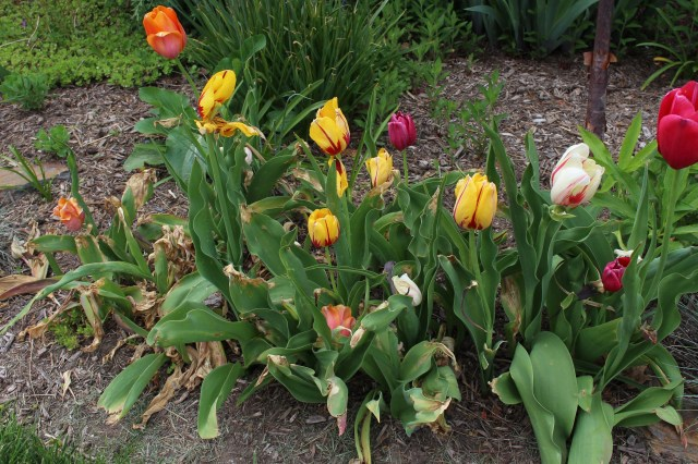 tulips damaged by late freeze