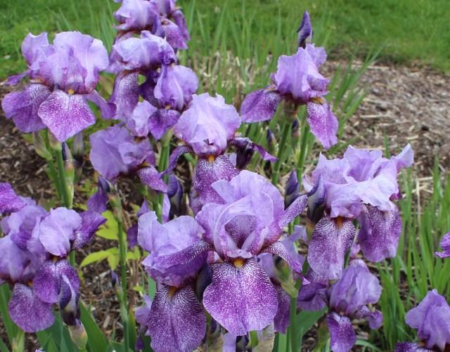 iris rhages