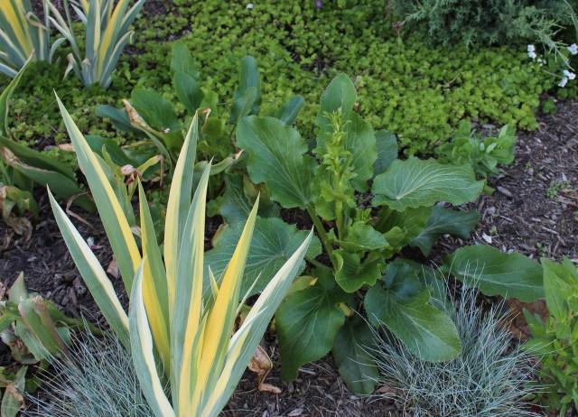 eryngium giganteum foliage