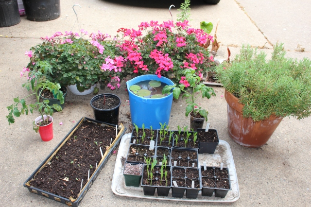 overwintered geraniums and vegetable seedlings