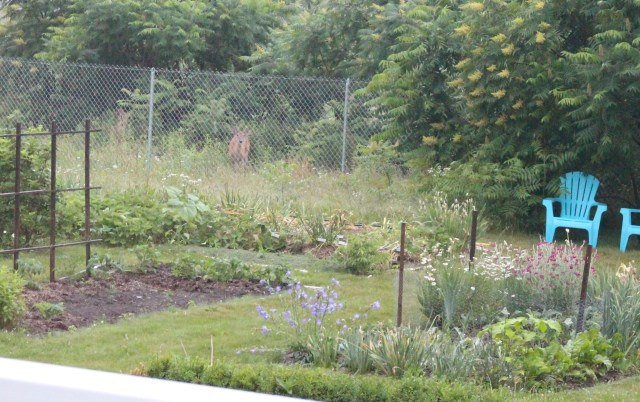 deer and the vegetable garden